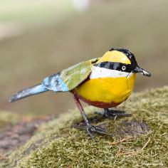 Oiseau brasil